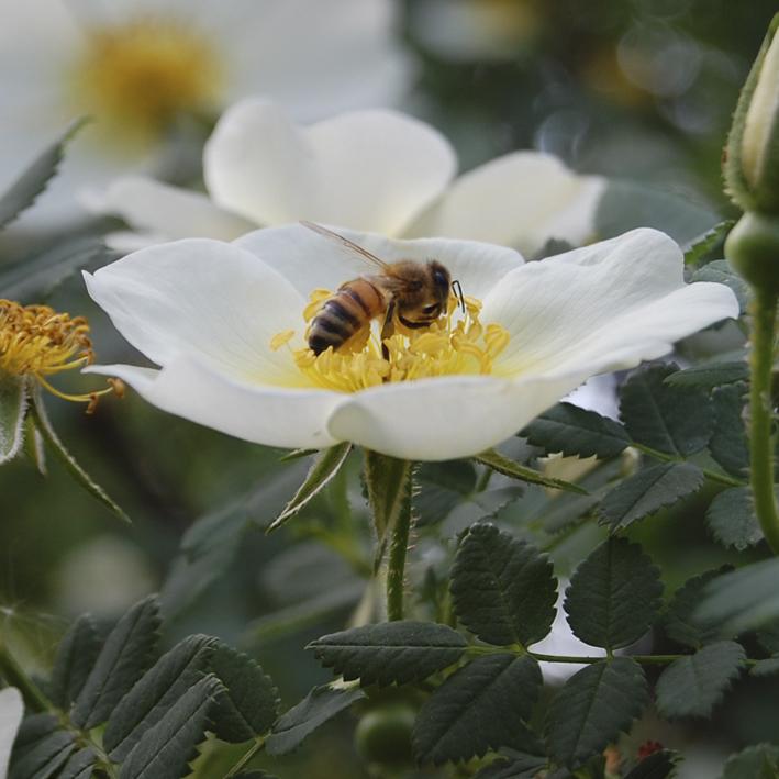 ruusu ja mehiläinen